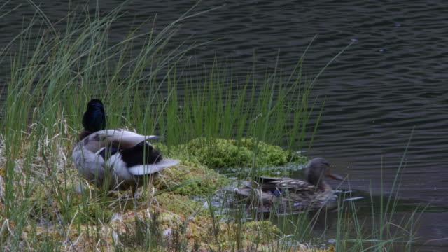 duck (anas platyrhynchos) next to pond - mallard stock videos and b-roll footage