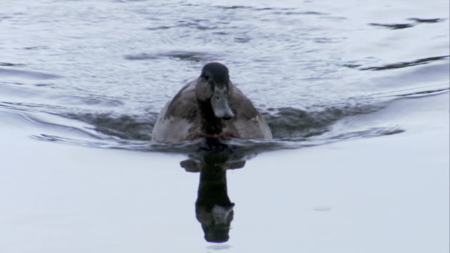 A duck on a pond casts a reflection on the water. Available in HD.