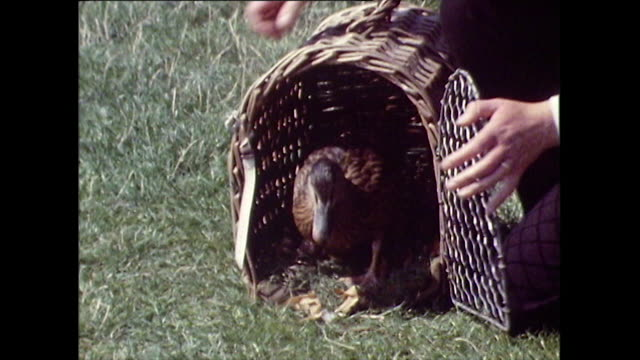 vídeos de stock e filmes b-roll de duck released from pet carrier onto serpentine lake in hyde park; 1971 - part of a series