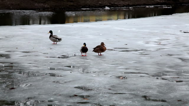 Duck slips on the ice of the half frozen river