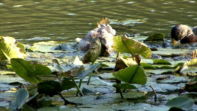 vídeos y material grabado en eventos de stock de pato natación en el estanque del lirio - cuello de animal