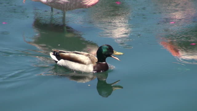 a duck swimming at the lake of palm springs california - palm springs california pool stock videos & royalty-free footage