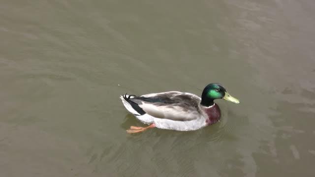 duck swimming hd - mallard stock videos and b-roll footage