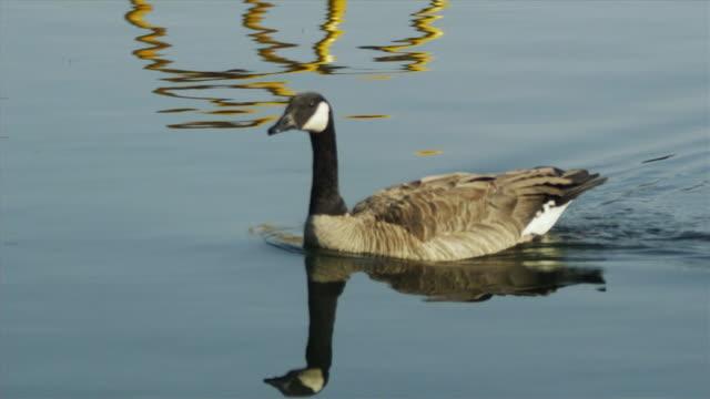CU TS SLO MO Duck swimming in lake / Squamish, British Columbia, Canada
