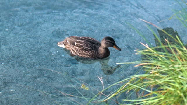 duck swimming in lake - parte del corpo animale video stock e b–roll