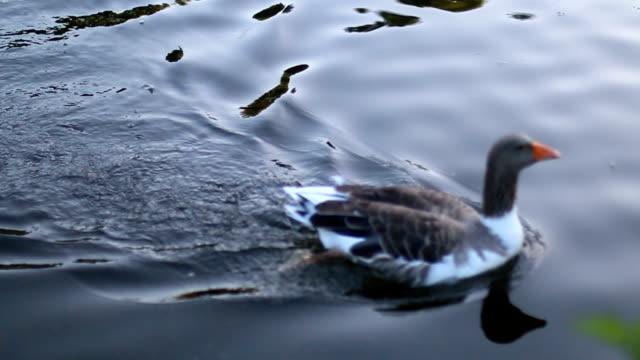 duck swimming in the lake - duck stock videos and b-roll footage