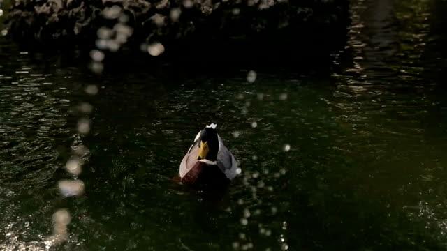 vidéos et rushes de canard nageant dans le lac - canard oiseau aquatique