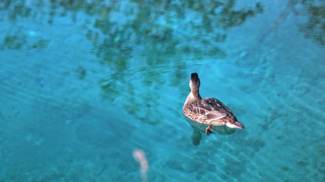 duck swimming in turquoise lake - parte del corpo animale video stock e b–roll