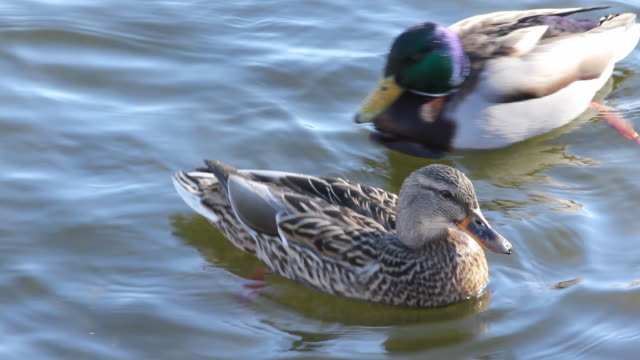 duck swimming. - two animals stock videos & royalty-free footage