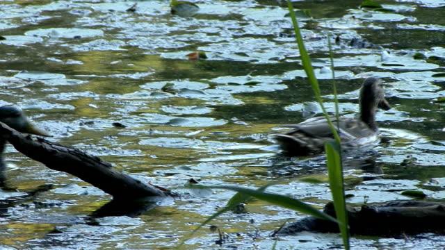 vídeos y material grabado en eventos de stock de pato de natación - cuello de animal