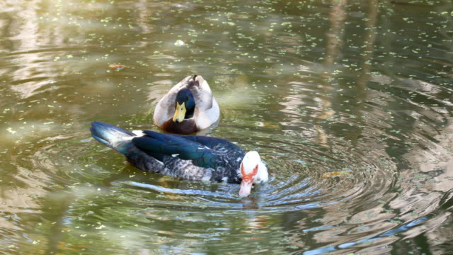 duck swimming - two animals stock videos & royalty-free footage