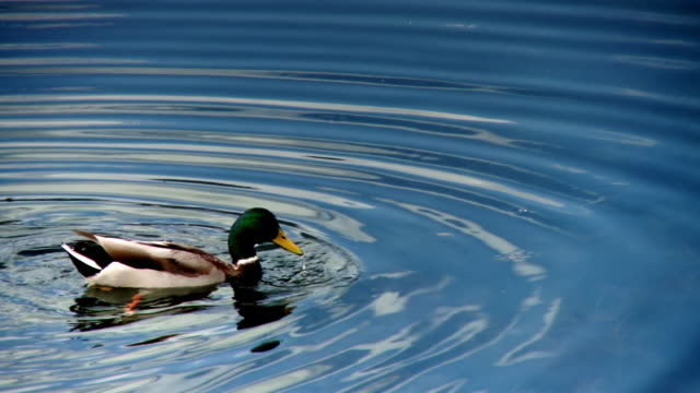 A duck swims in the water