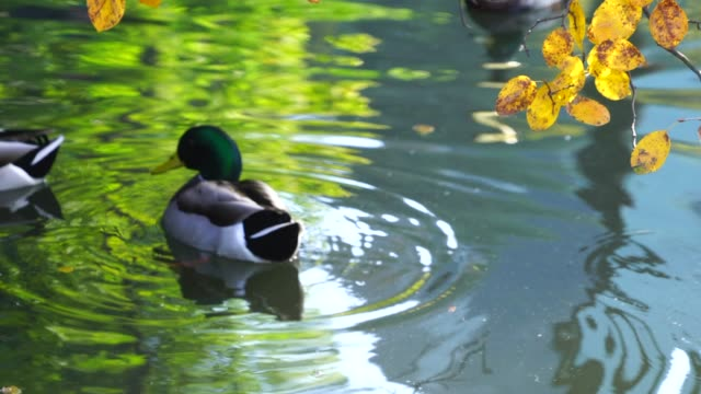 a duck swims under the autumn color leaves on the pond at central park new york ny usa on nov. 01 2018. - anatra uccello acquatico video stock e b–roll