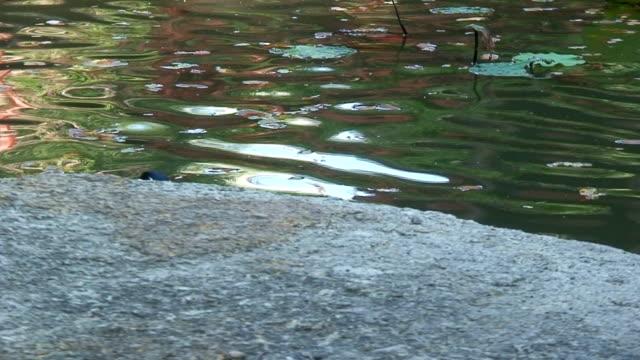 vídeos de stock e filmes b-roll de pato - planta d'água