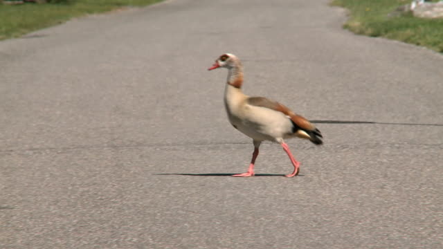 duck - ente wasservogel stock-videos und b-roll-filmmaterial