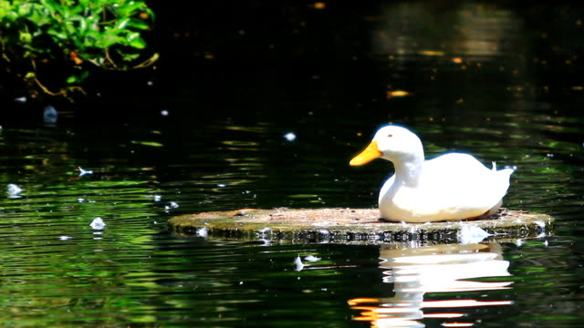 duck - mallard stock videos and b-roll footage