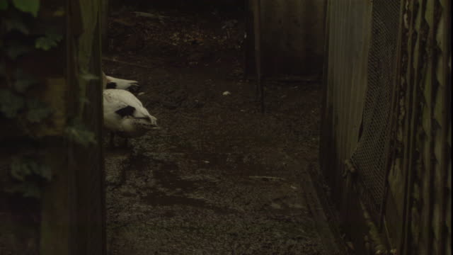 a duck waddles into an enclosure. - oxfordshire stock videos & royalty-free footage