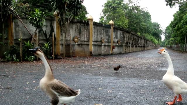 vidéos et rushes de canard à pied - canard oiseau aquatique