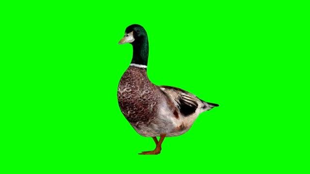 Duck Walking Green Screen (Loopable)