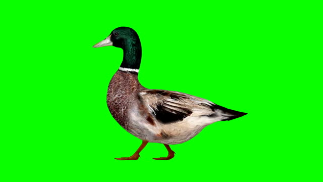 duck walking green screen (loopable) - duck stock videos & royalty-free footage