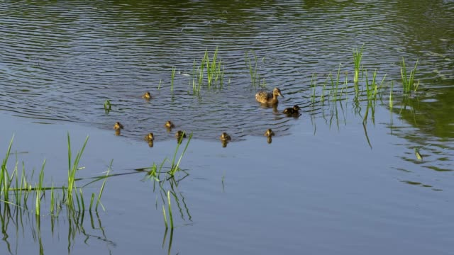 duck with ducklings swimming on the lake - duck bird stock videos & royalty-free footage