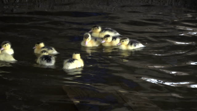 a duck with little chicks in the water - eyal bartov stock videos and b-roll footage