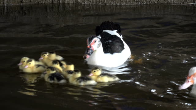 stockvideo's en b-roll-footage met a duck with little chicks in the water - eend watervogel