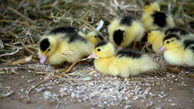 a duck with little chicks on land - animal family stock videos and b-roll footage