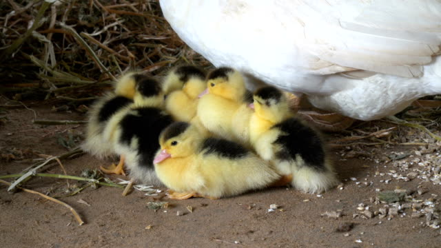a duck with little chicks on land - eyal bartov stock videos and b-roll footage