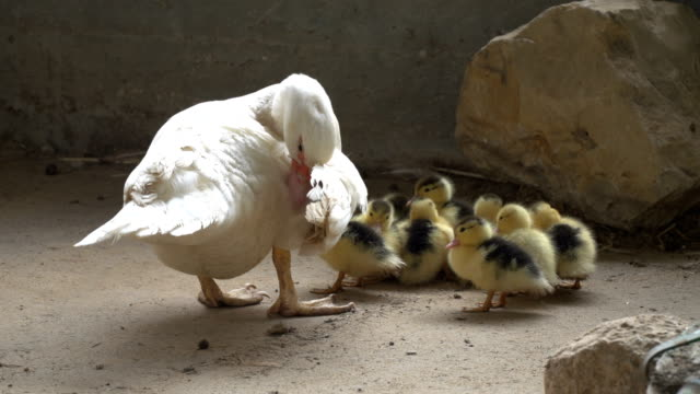 A duck with little chicks on land