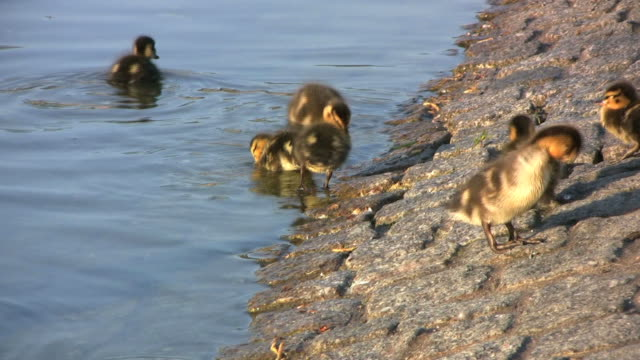 stockvideo's en b-roll-footage met ducklings at the pond (hd) - eend watervogel