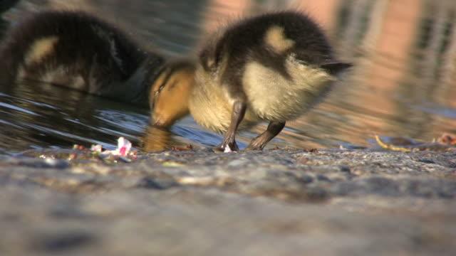 vídeos de stock e filmes b-roll de ducklings à procura de alimentos (hd - quatro animais