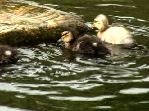 vídeos y material grabado en eventos de stock de ducklings sobre roca - grupo pequeño de animales