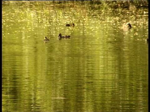 Ducklings swim around mother duck who dabbles in golden water