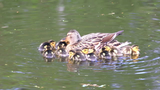 Ducklings swimming with the mother duck