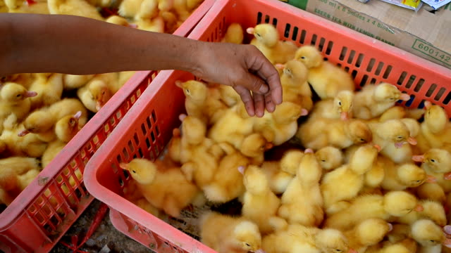 Ducklings to be domesticated in farm