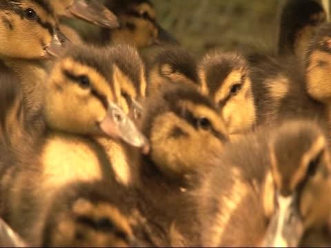 vídeos de stock e filmes b-roll de ducklings (anas platyrhyncos) under heat lamp cu. uk - animal cativo
