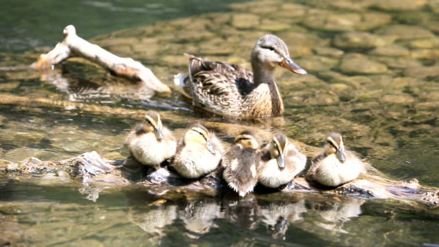 ducklings with mama duck - river yellowstone stock videos & royalty-free footage