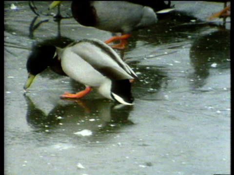 Ducks and coot slipping up on icy surface of frozen pond, UK