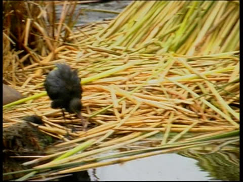 ducks and coot walking on straw, lake titicaca, ms, peru - medium group of animals stock videos & royalty-free footage