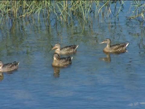 ducks and ducklings. - bulrush stock videos & royalty-free footage