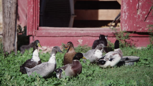 ducks and geese in a barn yard - barn stock videos & royalty-free footage