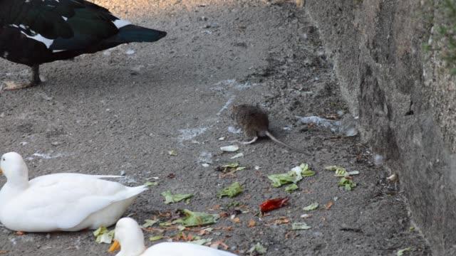 ducks and rat eating - skadedjur bildbanksvideor och videomaterial från bakom kulisserna