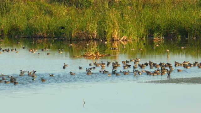 vidéos et rushes de des canards et oiseaux de rivage dans une zone humide - canard oiseau aquatique