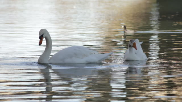 Ducks and swan swimming in a lake