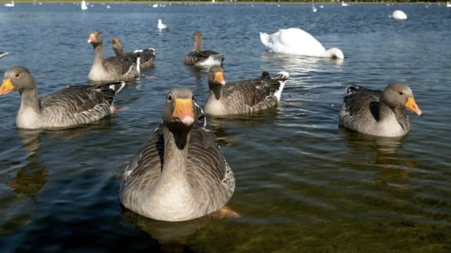 ducks and swans on round pond in london kensington gardens - swan stock videos and b-roll footage