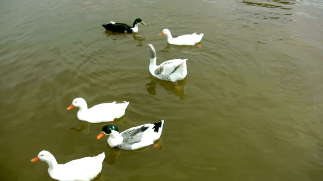 ducks and the goose - backwater stock videos & royalty-free footage