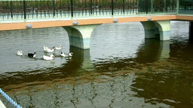 vidéos et rushes de canards et de l'oie - bras mort de cours d'eau