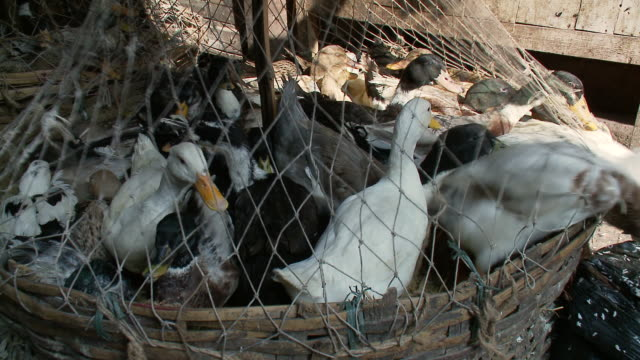 vidéos et rushes de cu pan ducks at new market  / calcutta, west, bengal india - captive animals