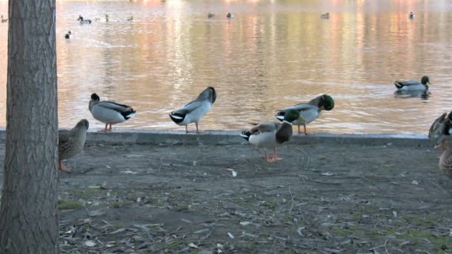 ducks at the lakeside in budapest - caning stock videos and b-roll footage